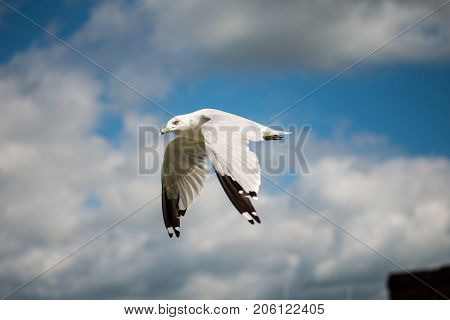 Seagull Flying With Blue Skys And White Clouds
