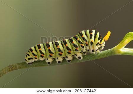 green caterpillar machaon on dill.