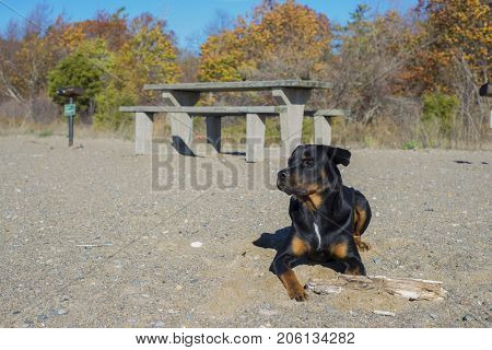 Portrait of young adult rottweiler dog sitting on a sandy beach with focused expression