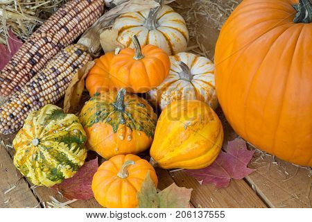 Colorful pumpkins gourds and corn on a wooden surface