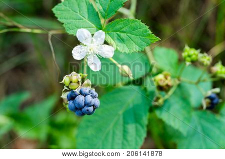 Forest Blackberry And Flower.