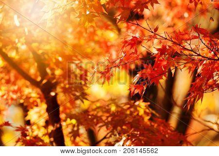 Glistening autumn trees. Orange and red Japanese maple leaves in fall sun shine. Autumn foliage scene.