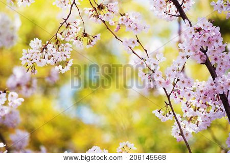 Cherry blossom and beautiful green spring canopy in bokeh background.