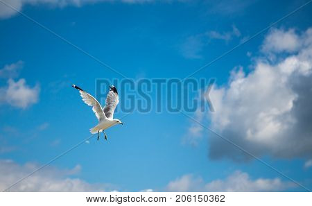 Seagull flying with blue skys and white clouds.