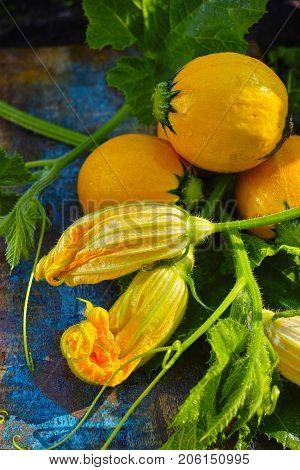 Round Yellow Zucchini And Zucchini Flowers, Fresh In The Garden, Ready To Cook
