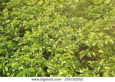 Spraying potato plants with insecticide in garden