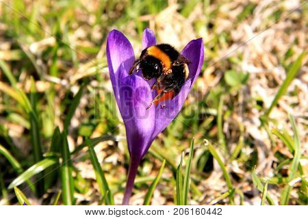 The Bumblebee is collecting pollen from a violet crocus