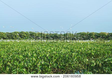 Huge Group Of White Egrets Above Aguape Vegetation In Pantanal