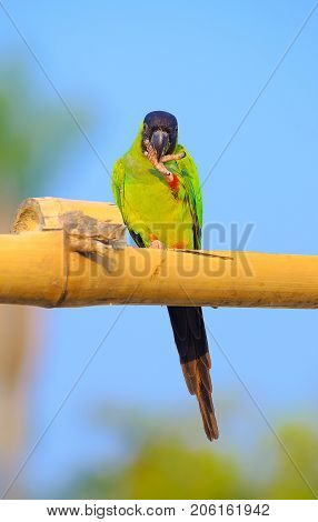 Green Parakeet With A Black Hood On The Head