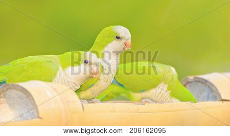 Green Parakeet Known As Caturrita In Brazil.