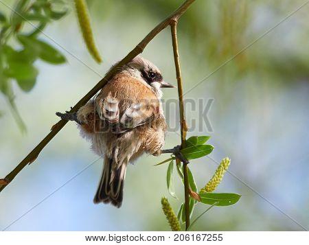 cute penduline tit on the nest (remiz pendulinus)