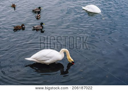 One Swan Plunged His Head into the Water Other Swan Dive for Food and Few Ducks Swim on Pond.
