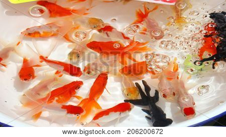 japanese goldfishes swimming in the water at summer festival