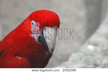 Red Macaw W/ Path