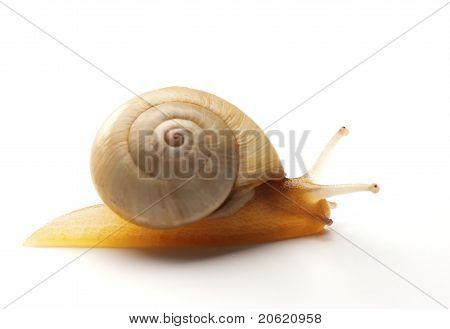 White Snail