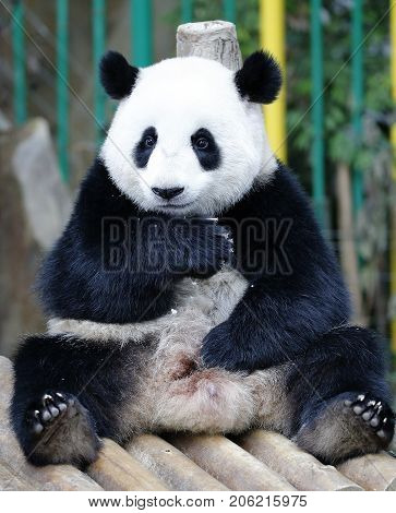 Nuan Nuan (means warmth) the first Malaysian-born Panda cub is sitting on the wooden bench at the Panda Conservation Centre in Kuala Lumpur Malaysia July 24 2017.