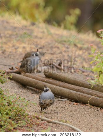 Quail in search of food