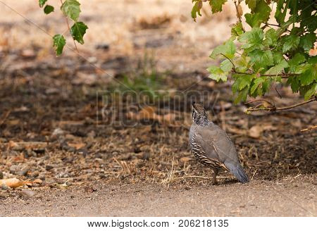 California Valley Quail in search of food