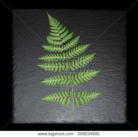 Fern leaf on square slate plate isolated on black
