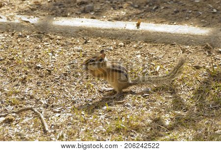 closeup of a Chipmunk scavenging for food