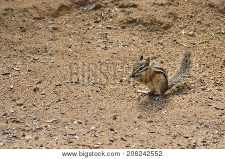 closeup of a Chipmunk scavenging for food poster