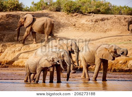 Wild elephants at riverbed drinking water