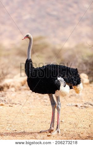 Somali ostrich one of Samburu special five in Kenya