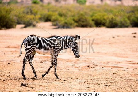 Grevys baby zebra in Samburu national reserve in Kenya