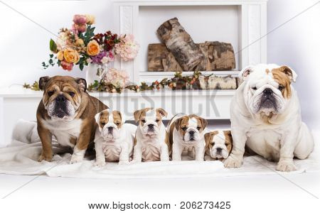 family english bulldog,  puppies are their parents, mom and dad