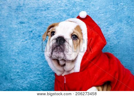 Christmas english bulldog puppy
