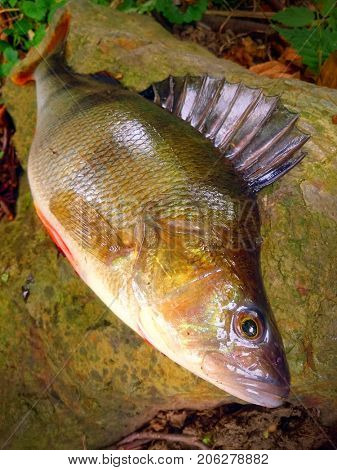 The European Perch - Perca fluviatilis. Fishing catch from fish pond. Fishes are source of tasty meat appropriate for diet.