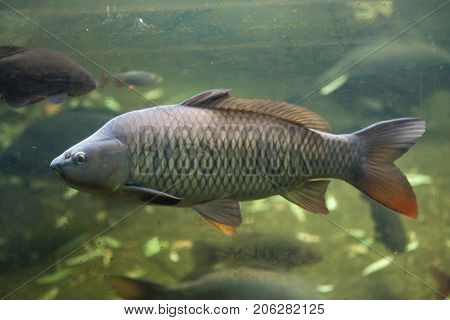 Wild common carp (Cyprinus carpio).
