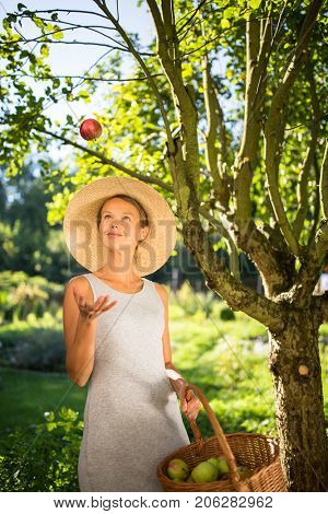 Pretty, young woman gardening in her garden - harvesting organic apples - looking very happy with the results