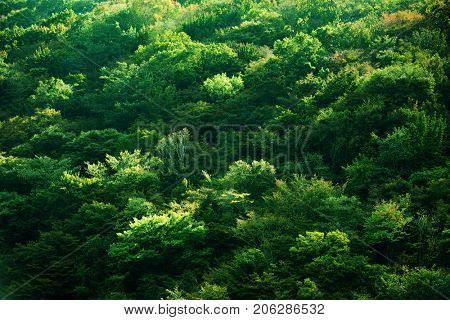 Green trees on a mountain hillside in strong light and shadow. Tips of trees glistening with sunlight.