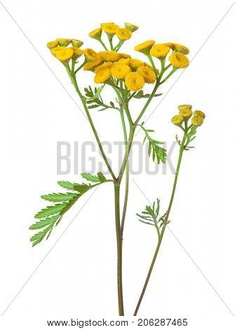 Yellow Tansy (Tanacetum vulgare) flowers isolated on white background. studio shot