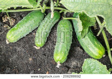 Cucumbers growing on vines in the garden. Macro.