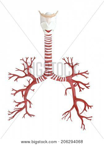 3d rendered medically accurate illustration of the human bronchi