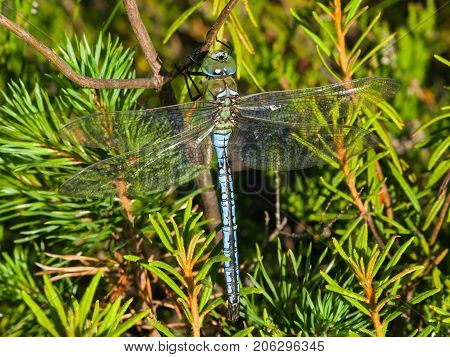 Blue Emperor Dragonfly or Anax Imperator on green plants at swamp close-up selective focus shallow DOF.