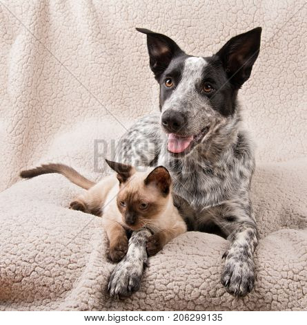 Texas Heeler dog and a young Siamese cat lying on a soft blanket