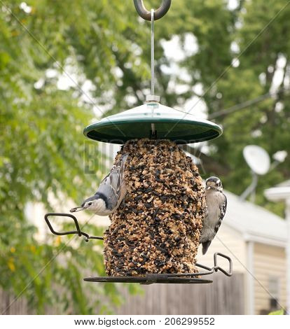 A White-breasted Nuthatch and a Downy Woodpecker at a bird feeder