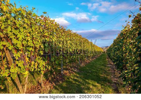 Rows of vineyards with ripe grapes in autumn in Piedmont, Northern Italy.