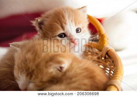 two small ginger kitten in the basket in home.