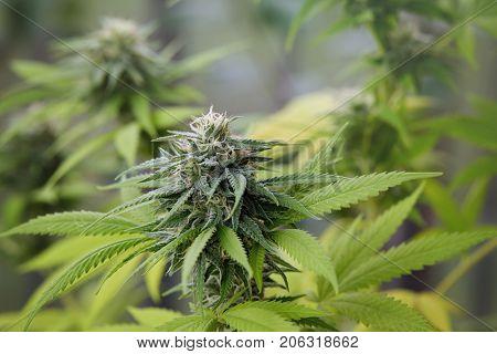 A large green flowering bud on a marijuana plant. Marijuana plant at flowering stage growing outdoor. Medical marijuana with marijuana bud.