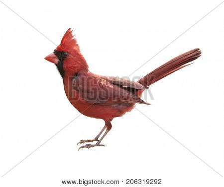 Male Northern Cardinal (Cardinalis) - Isolated on  white background