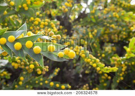 Acacia Glaucoptera (flat Wattle)