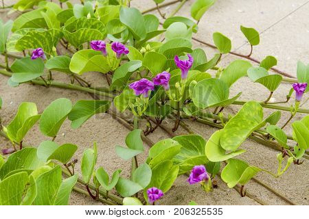 Beach Morning Glory has many purple flowers on the beach.