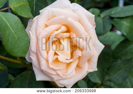 a tea rose, a flower on a bush, a rose bush