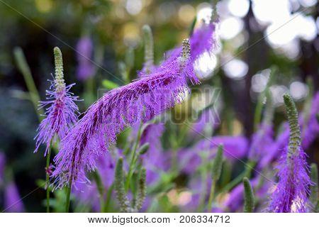 Pink lavender flowers of Sanguisorba hakusanensis, also called Korean mountain burnet or lilac squirrel.