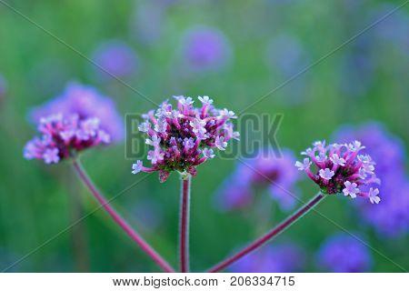 Verbena bonariensis, also know as purpletop vervain, clustertop vervain, Argentinian vervain, tall verbena or pretty verbena.