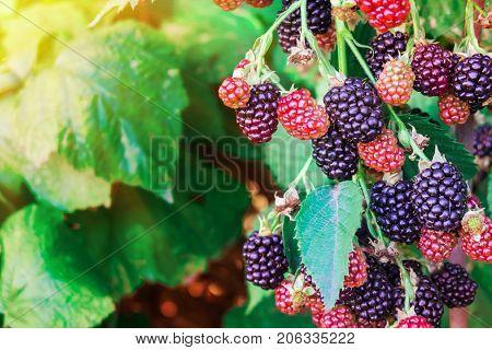 A Blackberry Bush. Bunch Of Blackberries, Black, Red. Ripe Blackberries.